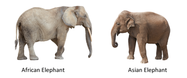african_asian_elephant_comparison